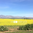 moonstruck-overberg-Canola-mountains
