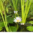 moonstruck-garden-waterlilies-in-pond