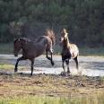 living along the estuary; the wild horses of Kleinmond