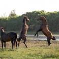 Stallion pulling rank; Kleinmond wild horses